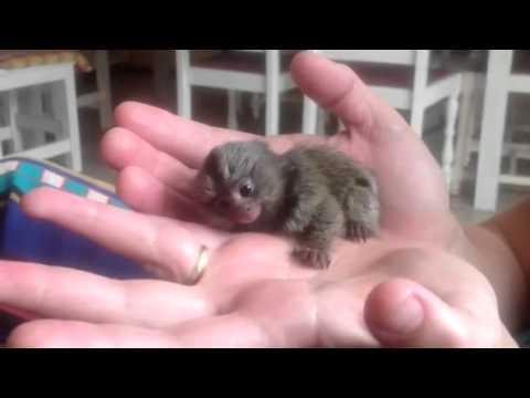 The cutest monkey ever!!! COX shirin meymun. sevimliler onlayn baxin