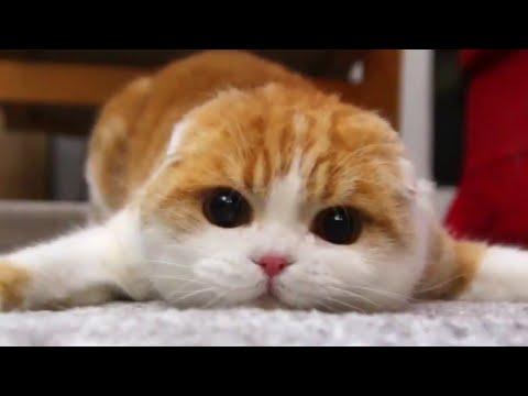 Seal Cat | Cute Cat Pouncing At You | Waffles the Cat | Scottish Fold