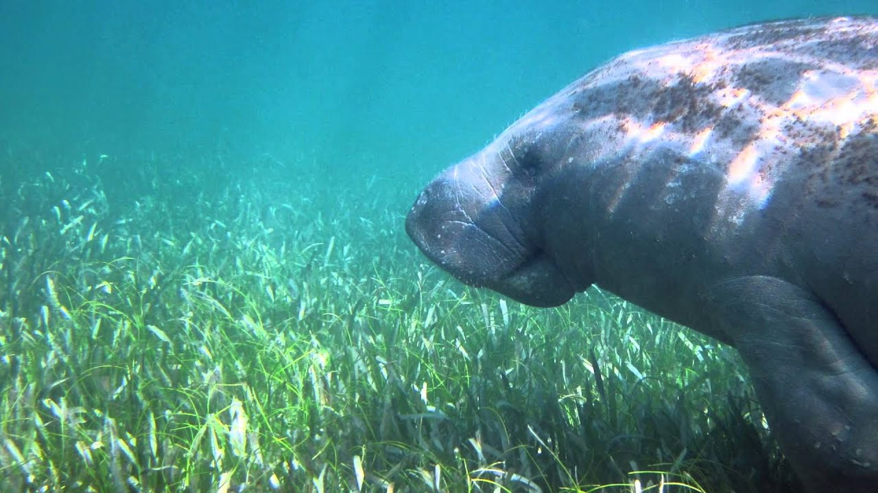 Seagrass beds animals - The Chaguaramas Seagrass Beds
