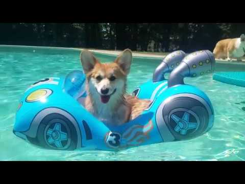 Meet The Breeds: Pembroke Welsh Corgi