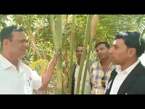 Bamboo Plant Farming 7000057573
