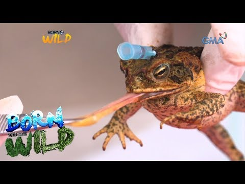 Born to Be Wild: Cane toads and their food