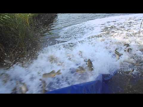 зарыбление пруда можно ловить