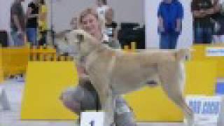 Alabai : Baj-Tagan (Central Asian Shepherd dog)
