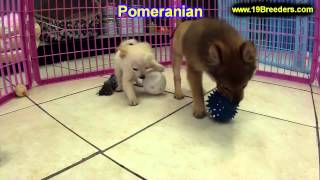 Pomeranian, Puppies, For, Sale, In, Baltimore, Maryland, Md, Fort Washington, South Laurel, Reisters