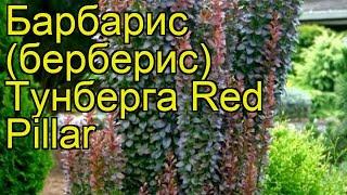 видео Барбарис Тунберга Red Pillar