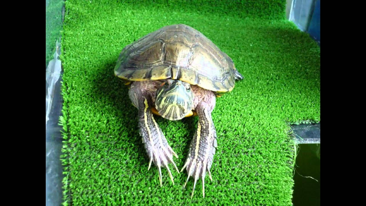 Como saber si tu tortuga es macho o hembra youtube for Como saber si es marmol