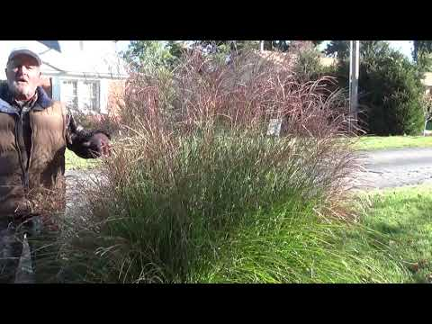 Do you trim your ornamental grasses in the fall or spring?