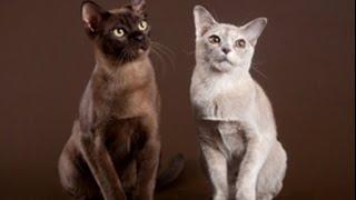 Бурма.  Котята бурмы.  Игра  1