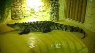 Krokodyl Nilowy i Kubański