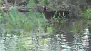 5月、雨で増水した川で鯉の産卵が始まった The river rose with heavy ...