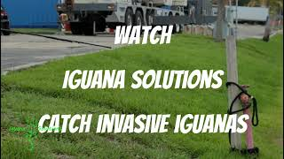 Iguana Solutions catches iguanas every day in Florida - Join us on IguanAdventures!
