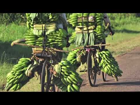 Tissue Culture   Banana and other crops