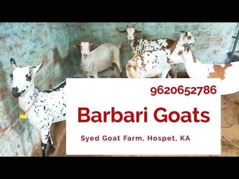Barbari female breeders @ Syed Goat Farm