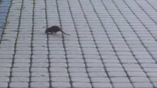 Patkány Miskolc belvárosában - boon.hu
