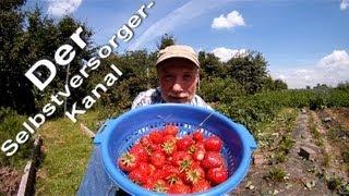 Gesunde Erdbeeren aus dem eigenen Garten ernten