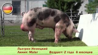 Фридом Фарм Бекон: племенные свиньи пород 'Пьетрен'