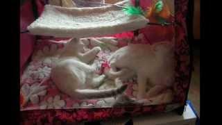 Как коротают время тайские котята на выставке! Тайские кошки - это чудо! Funny Cats