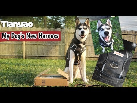Chewy's New Harness | TIANYAO Gear w/ Chewy The Husky