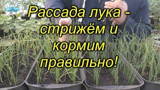 Когда и как подстригать рассаду лука из семян. Кормить или не нужно рассаду лука?