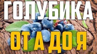видео Голубика (лохинь) : Саженцы голубики сорт Патриот (Patriot)