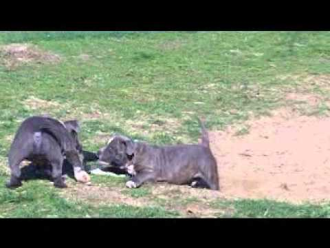 American Bully Puppies For Sale in Quincy, Illinois