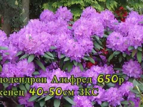 "Интернет магазин ""Красивый сад"" Http://цветы-сибири.рф"