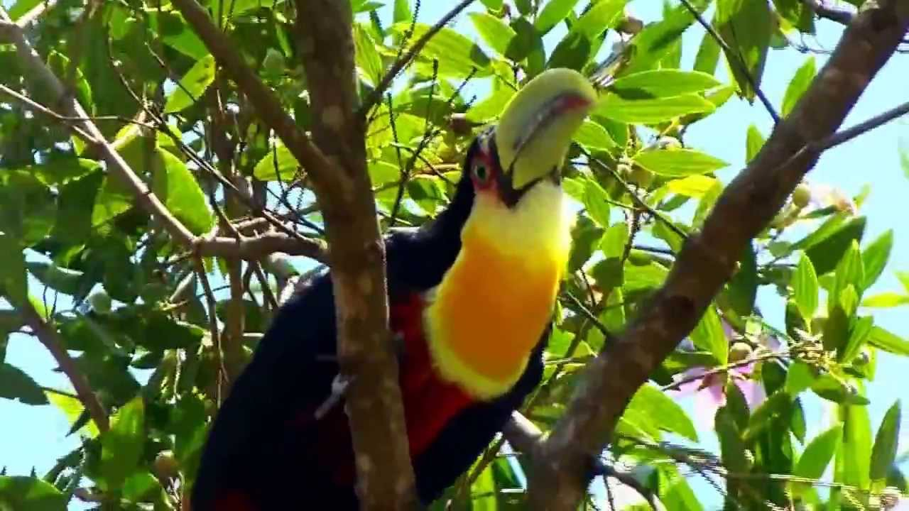 Toucan Facts - YouTube