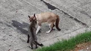 Siamese Cat VS Street Cat