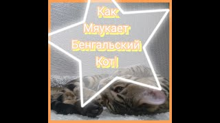 Как мяукает бенгальский кот?