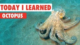 Today I Learned: Octopus