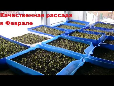 Как выращивать качественную рассаду перца и помидор???