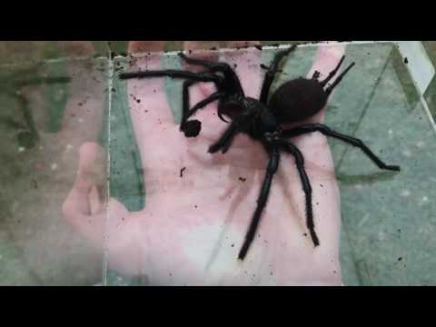 Giant Funnel Web