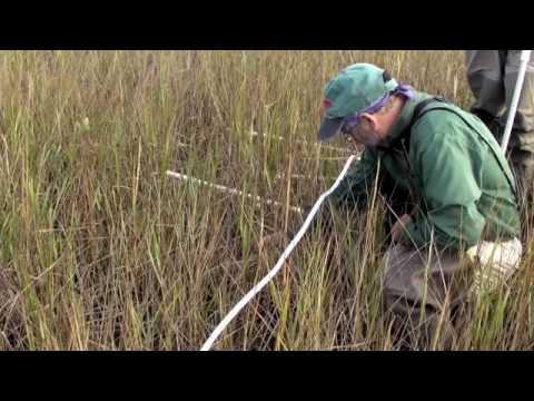 Coastal Louisiana: Impacts of Hurricanes on Salt Marsh and Mangrove Wetlands