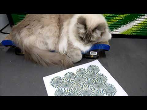 Ragdoll Cat Trigg Not Interested in Optical Illusion - ねこ - ラグドール - Floppycats
