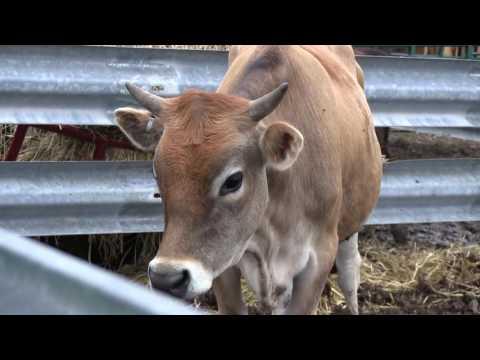 Raising Cows - The Basics