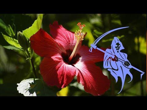 Почему Гибискус называют Цветком Смерти? Китайская Роза – приметы и суеверия!
