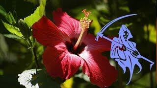 видео Китайская роза: приметы и суеверия, можно ли держать дома