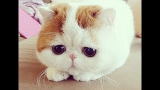 Exotic - Mèo Ba Tư cực dễ thương