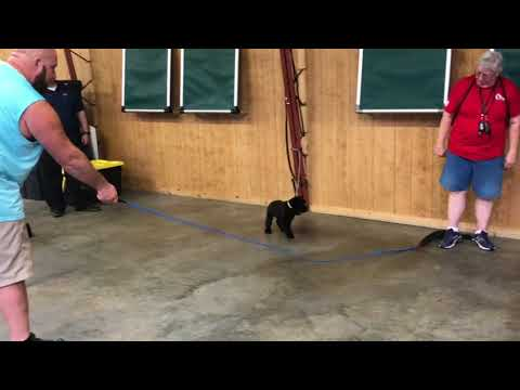 T Litter 2018 Giant Schnauzer Puppies Protection Evaluations Puppy Class