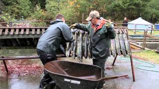 salmon run sliammon river oct 2012