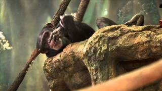 how humans lost their tails hhmi biointeractive video