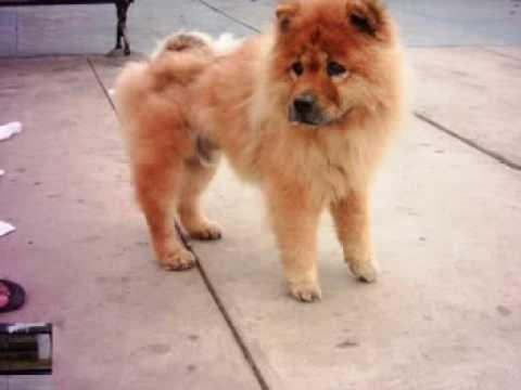 Puppy Chow Chow Rescue: Hong Shi
