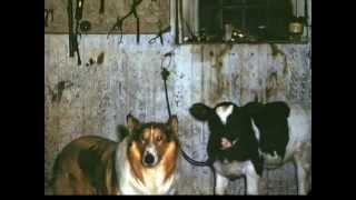 Padelskas Tobacco Farm Connecticut 1940's