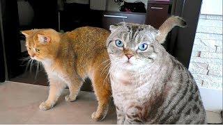 Наши милейшие котики Гермес и Персей. Британская и Шотландская  породы котэ.