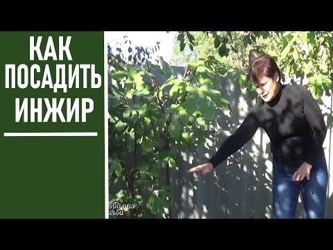 Как правильно посадить инжир в краснодарском крае
