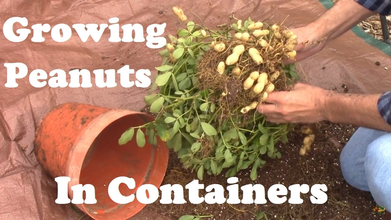 Peanuts Grown In A Container From Planting To Harvest And Some Of What I Learned Youtube