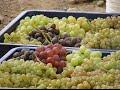 Виноград Армении. Абрикос Армении. Агрохозяйство  Сари ландж   Армения