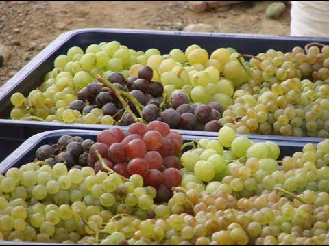 Виноград Армении. Абрикос Армении. Агрохозяйство