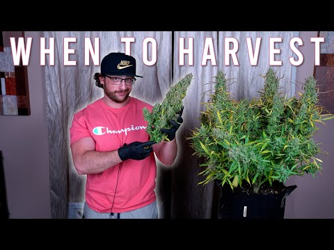 HOW TO GROW WEED EASILY (AUTOFLOWERS)… JUST ADD WATER: WHEN TO HARVEST GROWING ORGANICALLY. EP4